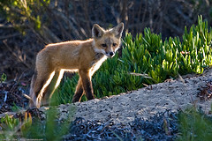 Capture the little foxes that can spoil the vineyards